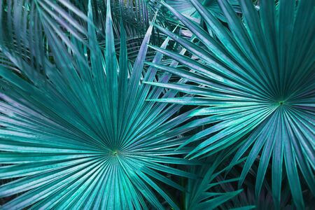 close up turquoise Tropical big palm leaves in exotic country. concept of foreign background, summer plants or nature and travel Reklamní fotografie