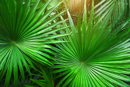close up green Tropical big palm leaves with sunlight in exotic country. concept of foreign background, summer plants or nature and travel