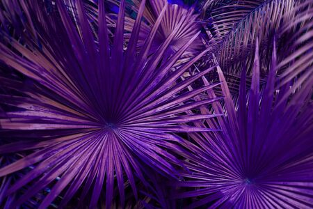 close up purple Tropical big palm leaves in exotic country Thailand Landscape Holiday. concept of foreign background, summer plants or nature and travel