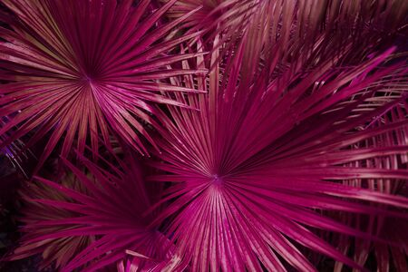 close up pink Tropical big palm leaves in exotic country Thailand Landscape Holiday . concept of foreign background, summer plants or nature and travel Reklamní fotografie