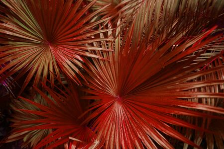close up red Tropical big palm leaves in exotic country Thailand Landscape Holiday . concept of foreign background, summer plants or nature and travel Reklamní fotografie