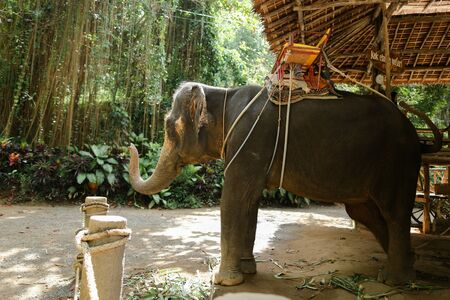 Tamed grey elephant standing with yellow saddle. Concept of exotic animal and tropical.