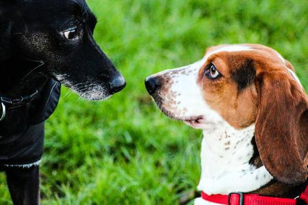 basset: basset hound meeting dog