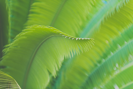 cycadaceae: Leaves of the cycads