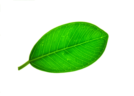 pipal: Leaves isolated on white