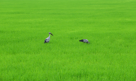 Asian Openbill Stork In Rice Field