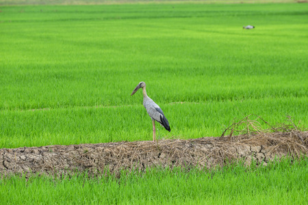 oscitans: Asian Openbill Stork In Rice Field