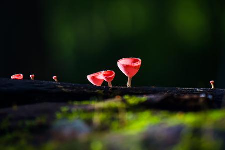 Champagne mushroom in rain forest Stock Photo