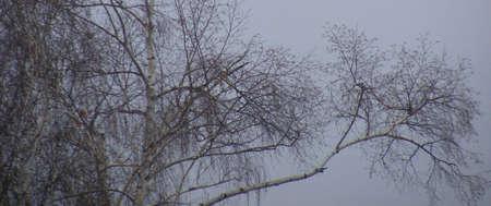 Misty winter branch