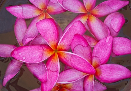 Plumeria flowers blossom red, floating in a bowl photo