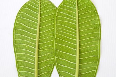 Fresh leaves of the Plumeria Stock Photo - 13196266