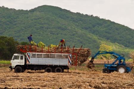 Harvesting and transporting Sugarcane to sugar mills photo