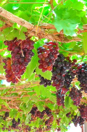 Seedless grapes ripen on the tree photo