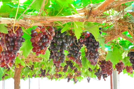 Seedless grapes ripen on the tree