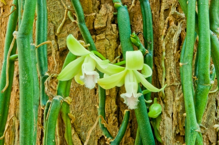 vanilla: Vanilla aphylla up the tree in the forest  Stock Photo