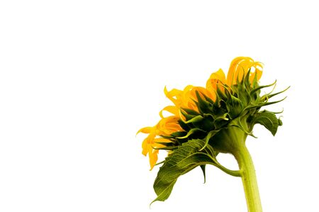 sepals: Sunflower on a white background
