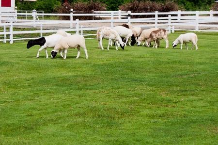 Sheep farm rearing for visitors  photo