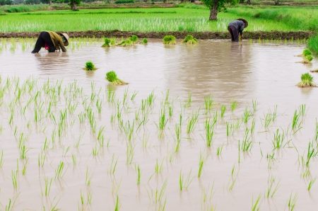 transplanting: Rice farmers are transplanting rice seedlings in the prepared pan  Stock Photo