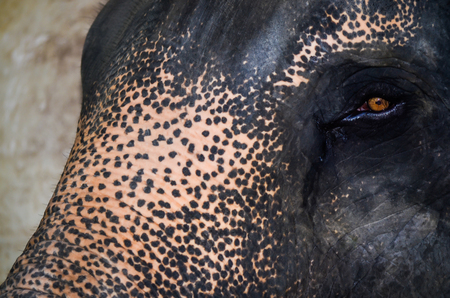 compared: Eye of the elephant is small compared to the face