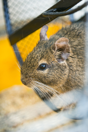 chilean: degus in a wheel. concept of pets Stock Photo