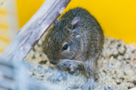chilean: funny domestic degu squirrel in his house. concept of pets