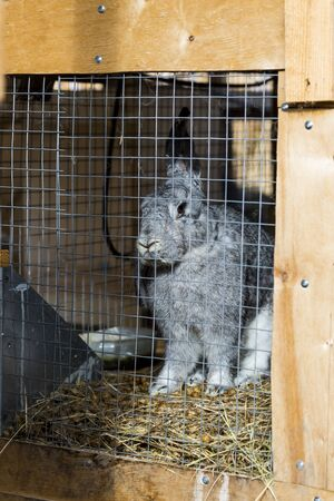 a gray rabbit in a cage, eating food, looking at the camera, rabbit ears, rabbit locked up, home grown rabbits A rabbit Peeps out of the cage. Purebred rabbits grown in a home farm.