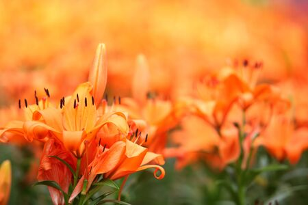 Lily Flower with soft background photo