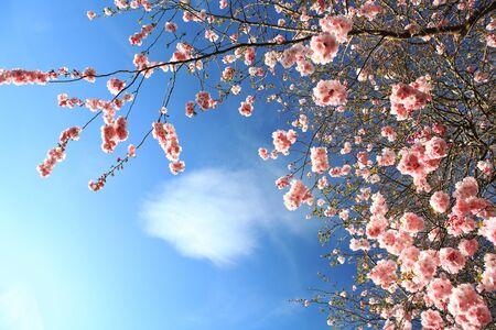 stamens: Beautiful Cherry blossom , pink sakura flower