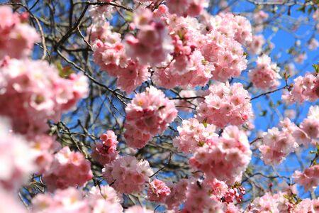 fukushima: Beautiful Cherry blossom , pink sakura flower in Germany