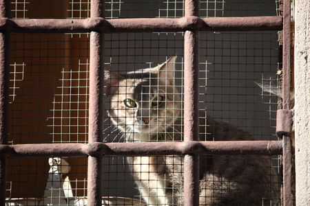 confined: Homeless animals series. Tabby kitten looking out from behind the bars of his cage. Stock Photo