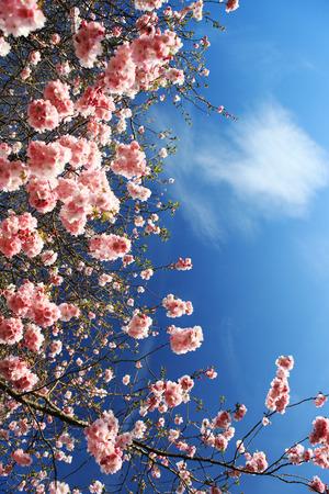 stamen: Beautiful Cherry blossom , pink sakura flower in Germany
