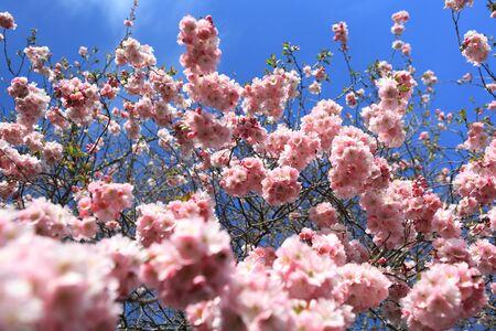 fukushima: Beautiful Cherry blossom , pink sakura flower