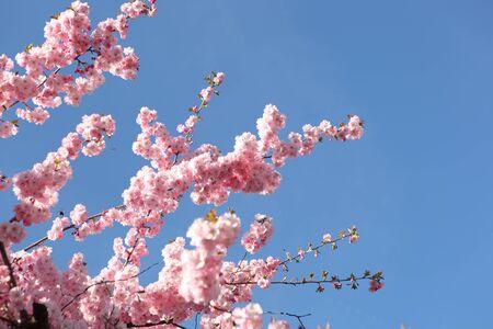 stamen: Beautiful Cherry blossom , pink sakura flower