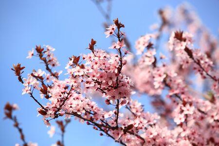 Beautiful Cherry blossom , pink sakura flower in Germany