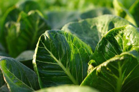 frescura: Freshness green lettuce salad texture