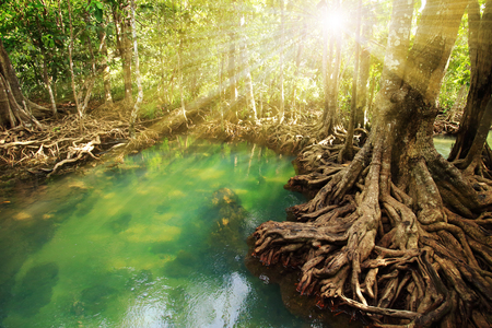 Tha Pom , Emerald Pool is unseen pool in mangrove forest at Krabi in Thailand.