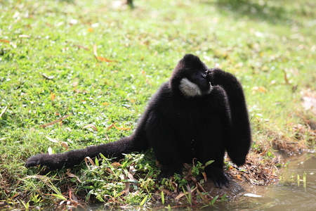 howler: An adult black Howler monkey