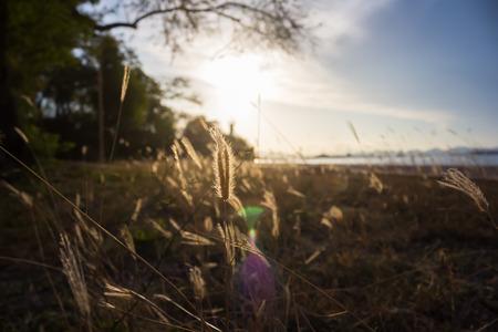 sea grass: Evening light shining through the sea grass vintage images.
