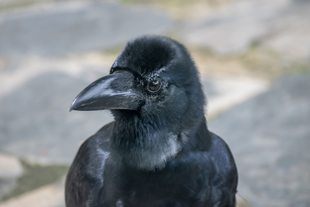 Crow, a bird of the genus Corvus, or more broadly a synonym for all of Corvus, in the outdoor of public park, Bangkok, Thailand