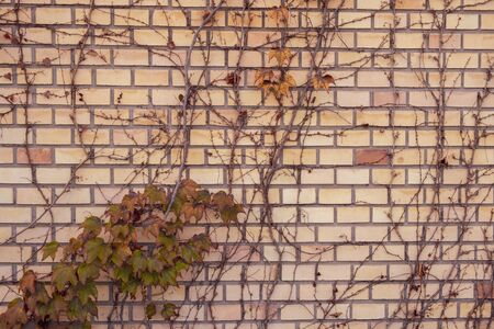 The wild ivy in yellow and red leaves against the red old brick wall as an autumn background vintage concept Stock Photo