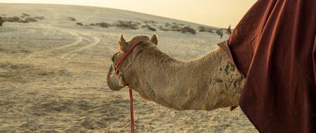 Panoramic view of Desert Safari Camel Ride, a landmark for desert activities, in Al Wakrah, Qatar.