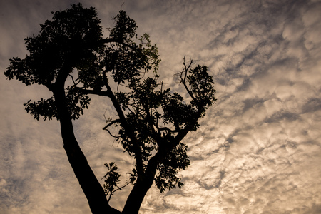contorted: Big Tree silhouetted against a twilight sky