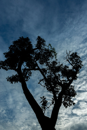 contorted: Big Tree silhouetted against a blue twilight sky