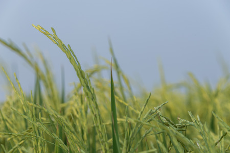 panicle: Rice spike in rice field in Thailand, Panicle rice Stock Photo