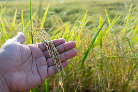 tenderly: hand tenderly touching a young rice in the paddy field Stock Photo