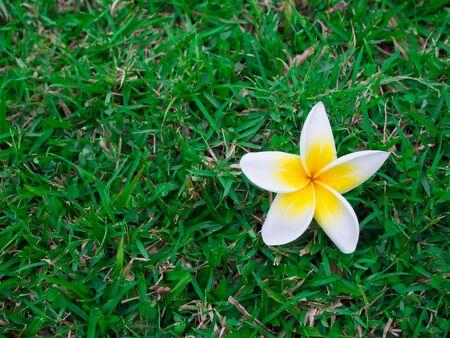 Frangipani flower on green glass photo