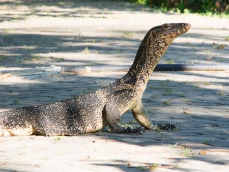 salvator: portrait of a banded monitor lizard (varanus salvator) Stock Photo