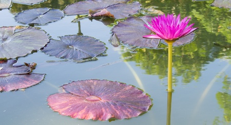 A colorful water lily growing in a pond photo