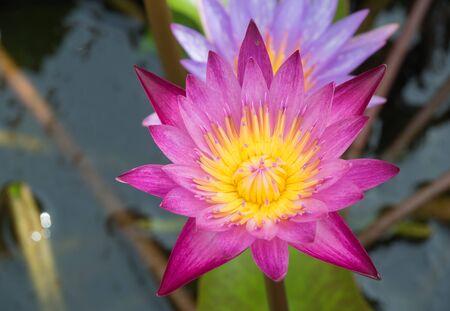 to bloom: A lotus bloom