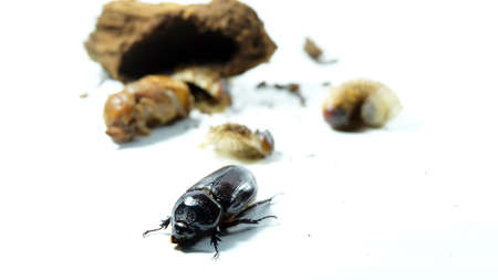 The coconut rhinoceros beetle has three stage in life cycle, first stage is larval (called Grubs) second stage is Pupa and the final stage is adult,Entomophagy concept,Beetle life cycle on white background.